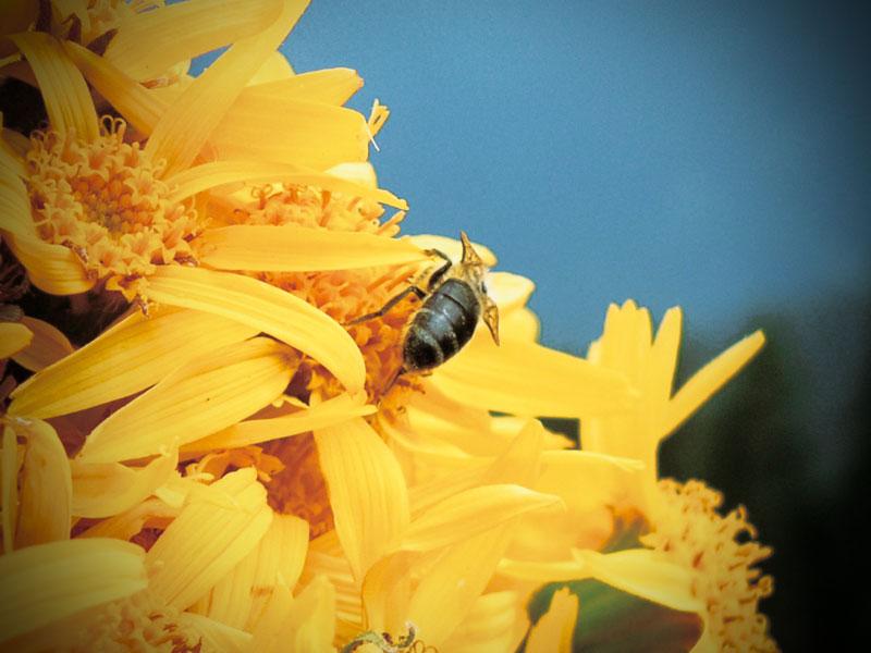 Eine Biene auf Arnika-Blumen