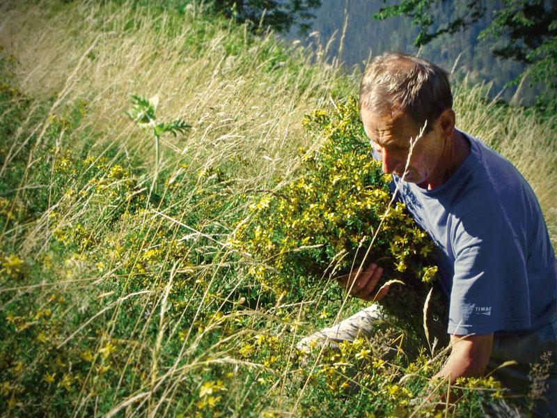 Ein Mann beim Johanniskraut sammeln