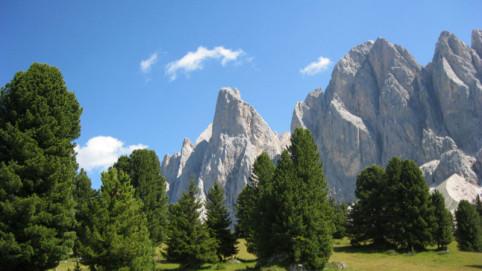 Zirbe in den Alpen